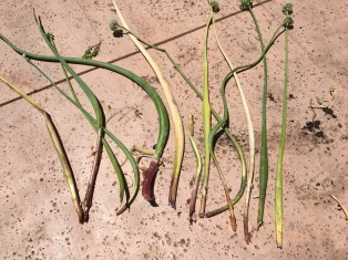 Red onions that have been eaten by gophers.