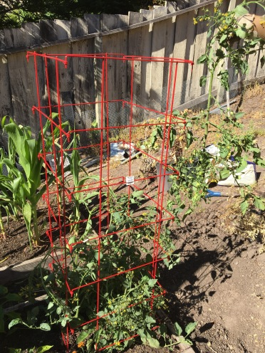 Cherry tomato plant in cage.