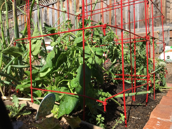 Two beefsteak tomatoes in their cages.