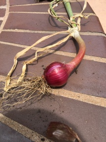 Onion in the drying process.