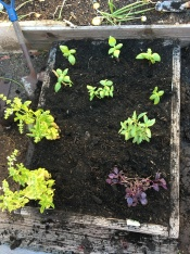 Varieties of basil in a planting bed.